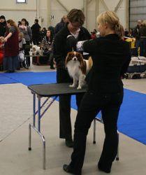 Tuomari tutkii koiran rakenteen